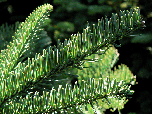 Noble Fir - Cowichan Valley Christmas Trees